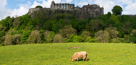 Stirling Castle and a Highland Cow